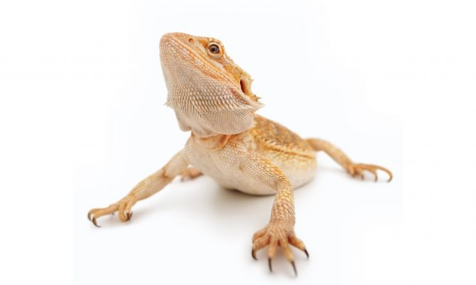 dragon-barbudo2-xl-668x400x80xX